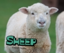 Image for Sheep