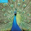 Image for Peacocks Wall Calendar 2016 (Art Calendar)