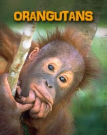 Image for Orangutans